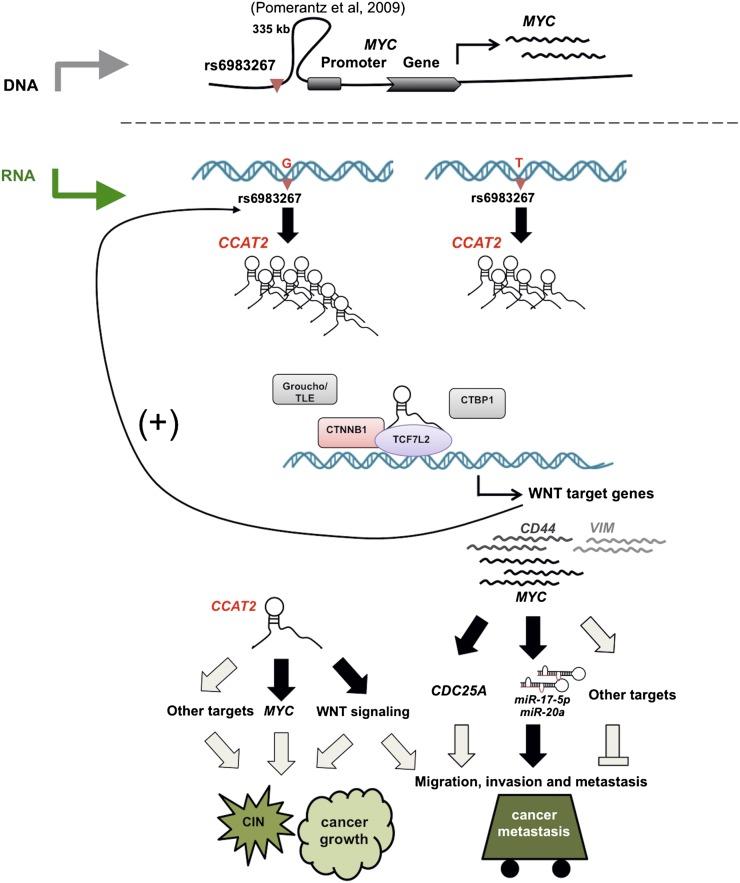 A model of CCAT2 locus involvement in CRC.jpg